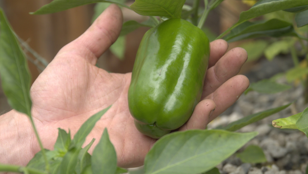 ap pepper